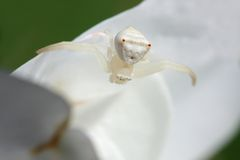 Aranha branca 2 do caranguejo fotos de stock