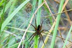 Aranha britânica da jangada que protege seu ninho Fotos de Stock Royalty Free