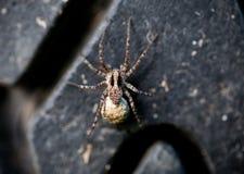 Aranha cinzenta em um pneu velho Imagem de Stock