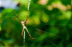 Aranha colorida em uma Web Imagens de Stock