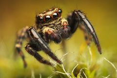Aranha colorida (lanigera de Pseudeuophrys) Imagem de Stock