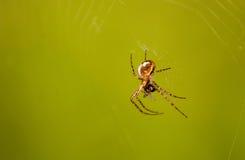 Aranha com uma mosca Fotos de Stock