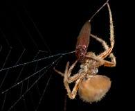 Aranha com uma refeição Imagens de Stock