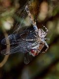 Aranha com a vítima de uma libélula Imagens de Stock Royalty Free