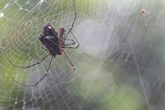A aranha come a borboleta Foto de Stock