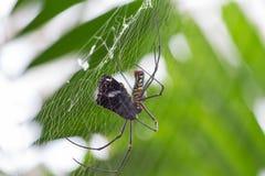 A aranha come a borboleta Fotos de Stock