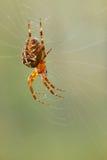 Aranha-cruzado. Foto de Stock Royalty Free