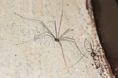 Aranha da casa Fotografia de Stock Royalty Free