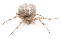 Aranha da casa Fotografia de Stock