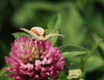 A aranha da flor espera a vítima em uma flor do trevo imagem de stock royalty free