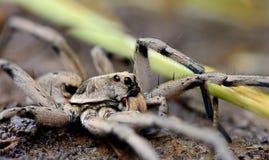 Aranha da grama/lobo imagem de stock