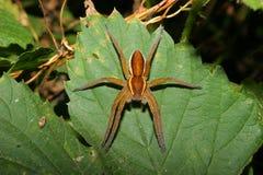 Aranha da jangada (fimbriatus de Dolomedes) Imagem de Stock