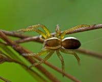 Aranha da jangada, juvenil do fimbriatus de Dolomedes Fotografia de Stock