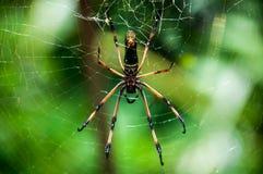 Aranha da palma Foto de Stock Royalty Free