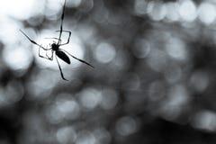 Aranha da palma de Seychelles imagem de stock royalty free