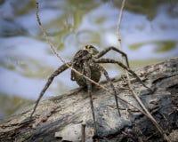 Aranha da pesca Foto de Stock Royalty Free