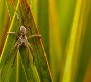 Aranha da pesca Fotografia de Stock Royalty Free