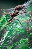 Aranha da pesca de Femail no ninho da Web Imagem de Stock