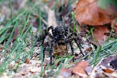 Aranha da tarântula com olhos grandes Fotografia de Stock Royalty Free