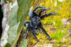 Aranha da tarântula do javanensis de Selenocosmia Fotografia de Stock