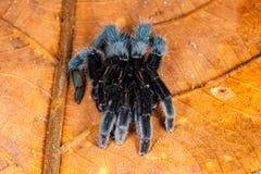 Aranha da tarântula do javanensis de Selenocosmia Imagem de Stock Royalty Free