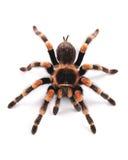 Aranha da tarântula, fêmea foto de stock royalty free