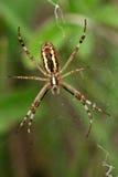 Aranha da vespa Imagem de Stock Royalty Free
