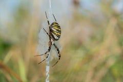 Aranha da vespa Imagens de Stock Royalty Free