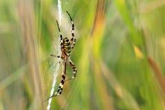 A aranha da vespa Fotografia de Stock