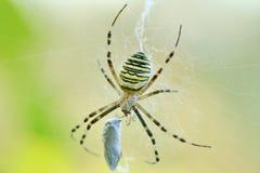 Aranha da vespa (bruennichi do Argiope) Fotografia de Stock