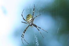 Aranha da vespa (bruennichi do Argiope) Imagem de Stock Royalty Free
