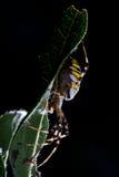 Aranha da vespa (bruennichi do Argiope) imagens de stock royalty free