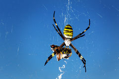 Aranha da vespa - bruennichi do Argiope Foto de Stock Royalty Free