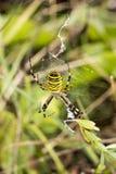 Aranha da vespa (bruennichi do Argiope) de Baixa Saxónia, Alemanha Foto de Stock