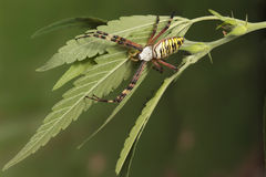 Aranha da vespa do close up (bruennichi do Argiope) na folha do cannabis fotografia de stock