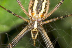 Aranha da vespa - fim do bruennichi do Argiope Fotos de Stock Royalty Free