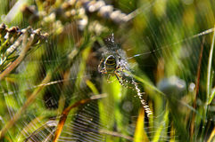 Aranha da vespa na Web Fotos de Stock Royalty Free