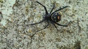 Aranha da viúva negra que move um pouco video estoque