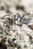 A aranha da zebra, scenicus de Salticus fotos de stock