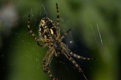 Aranha de Arhipop Aranhas - Arhiopa é bastante comum fotografia de stock royalty free