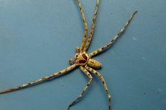 Aranha de Brown Fotografia de Stock Royalty Free