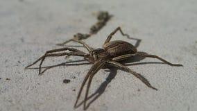 Aranha de Brown com os pés longos que saem do quadro vídeos de arquivo