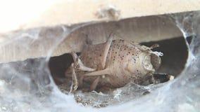 Aranha de Brown e sua rapina video estoque