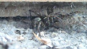 Aranha de Brown e sua rapina do inseto filme