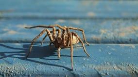 Aranha de Brown que espera apenas no azul vídeos de arquivo