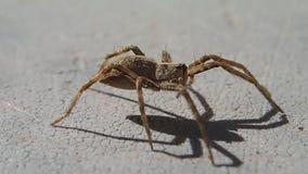 Aranha de Brown que espera e que sae do quadro video estoque