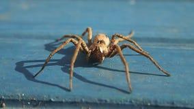 Aranha de Brown que espera no azul vídeos de arquivo