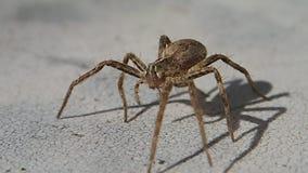 Aranha de Brown que sae do quadro vídeos de arquivo