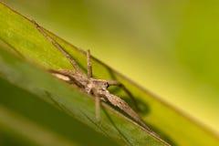 Aranha de caça Fotos de Stock Royalty Free
