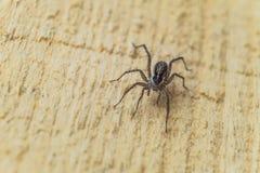 Aranha de Fiddleback, aranha do violino ou de eremita de Brown reclusa de Loxosceles da aranha Artrópode venenoso em uma superfíc imagem de stock royalty free